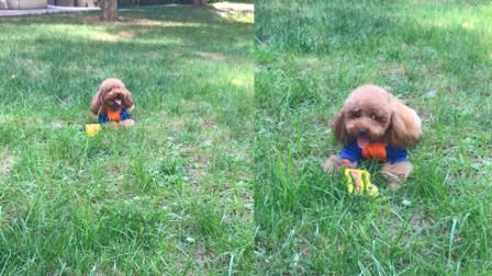 从来没有见过这么懒的狗子!懒成这样就别玩球了!