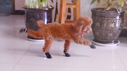 傻狗子第一次穿鞋子,你要把主人笑死了!