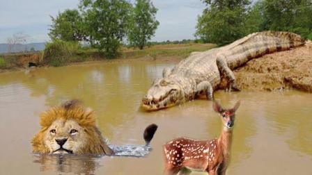 狮子捕猎羚羊,却中下鳄鱼埋伏,游客拍下全过程