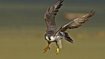 世界上飞得最快的鸟,时速390公里,堪比一辆高铁