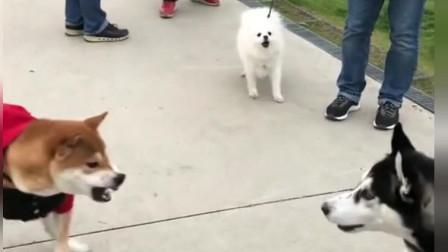 柴犬一遇到二哈,气就不打一处来,主人拉都不管,二哈的反应亮了