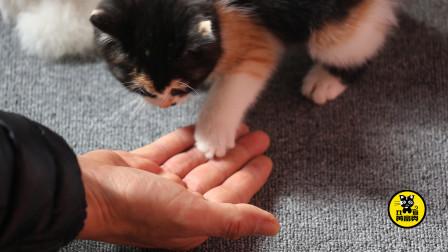 """丑猫黄富贵成长日记(8):黄富贵两天就学会了""""握手讨食"""",神奇的小猫"""