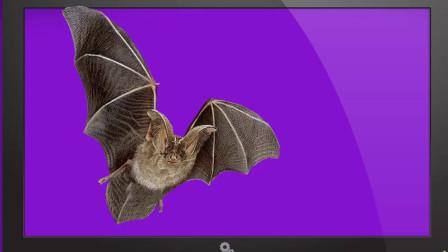 谜语猜一猜-第90集-似鸟又非鸟,有翅身无毛,一脸丑模样,专爱夜遨游。猜空中动物蝙蝠