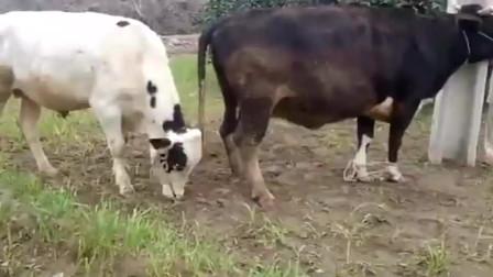 这只母牛的体形比公牛大很多,配种需要几个人来帮忙,才成功!