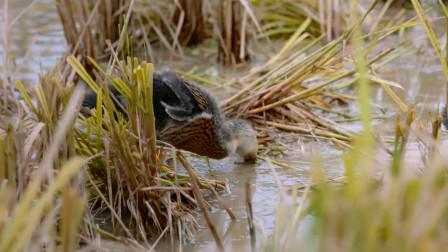 万物滋养:田野中的鸭子