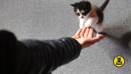 """丑猫黄富贵成长日记(9):这只小奶猫竟然能够直立""""握手讨食"""",太不可思议了"""