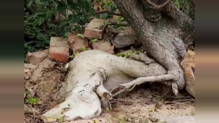 盆景下山桩不发芽,可以采取这种方法来补救!