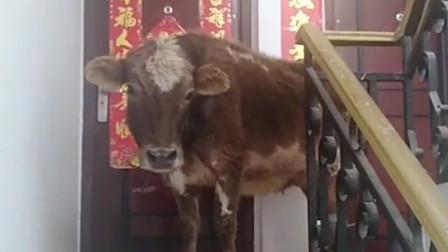 谁家还拿牛来当宠物了?为了能喝新鲜牛奶吗?