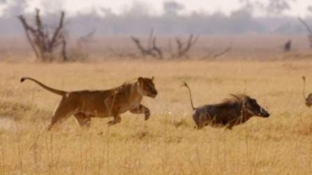 野猪跑起来速度真是快,你瞧狮子都撵不上!