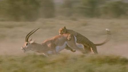 羚羊成功逆袭,豹子一脸懵逼!
