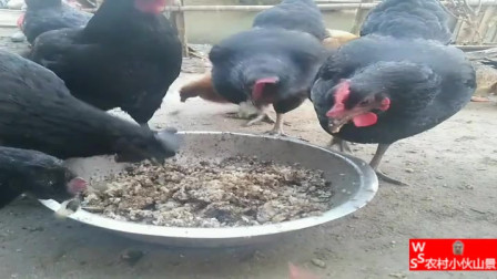 农村里拿食物给鸡吃