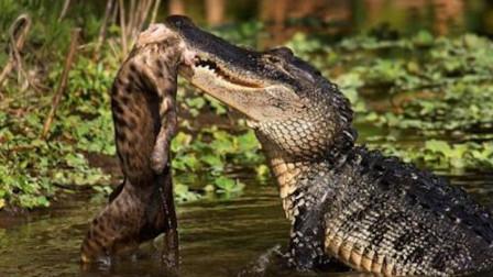 花豹想要捕食鳄鱼,直接就跳入水中,鳄鱼:你真当我是条鱼?