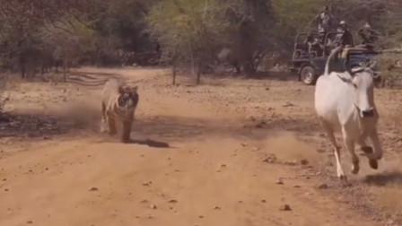 老虎捕捉印度牛,王者的气势