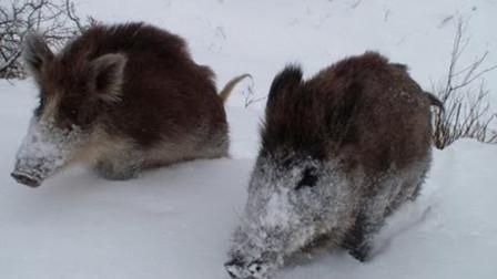 冰天雪地里,野猪是如何过冬的呢?