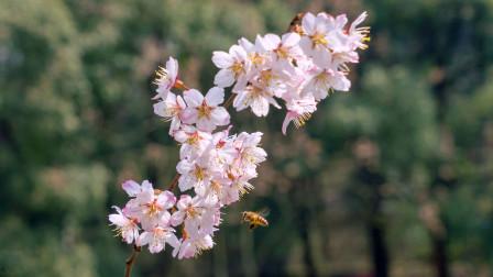 一萱摄影 樱花拍摄技巧及拍摄方法讲解 春天花卉的拍摄