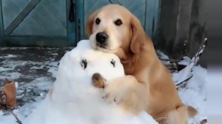萌宠:主人说雪人比金毛好看,金毛吃醋了,它竟这样报复这个雪人