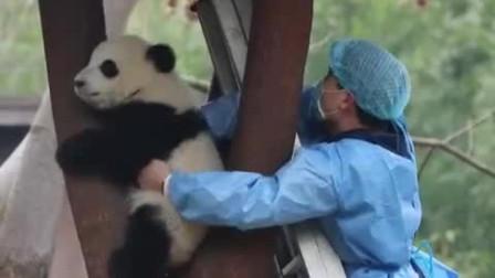 大熊猫宝宝萌玉赖在树上拒绝下班