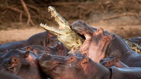 作死鳄鱼惹怒河马之后,会有什么下场?网友:跟纸糊的一样