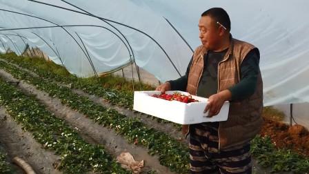 农村研究生放弃高薪职业回家种草莓,一天出货300斤能赚多少钱?