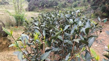 山上种植的老水仙茶树还是老一辈们留下的有100多年了