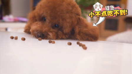 小狗子腿太短,吃个狗粮都快捉急死了!