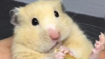 金丝熊小仓鼠吃东西还要晃脑袋,这是吃嗨了?
