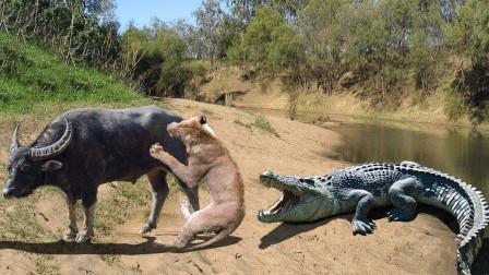 """野牛正在觅食,突然遭到狮子袭击,鳄鱼""""螳螂捕蝉黄雀在后"""""""