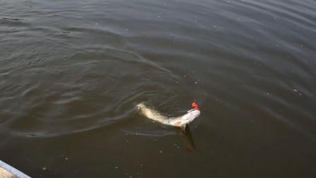 钓竿装备稳妥!岸钓、船钓三条大狗鱼接连出水