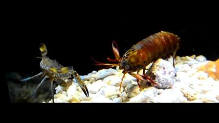 龙虾大战螃蟹,结局太意外了,没想到螃蟹不堪一击