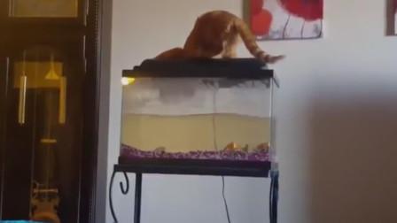捕鱼达人小猫咪为抓鱼 从高处摔下后忍痛佯装淡定 太好笑了