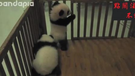 哈哈,两只小熊猫太淘气,饲养员将它两锁了起来,太可爱了