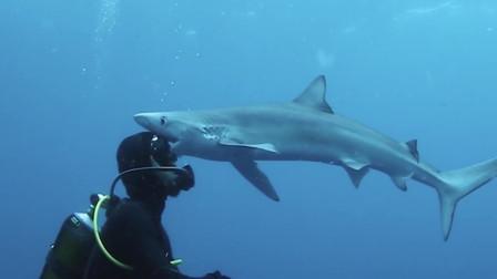 """鲨鱼张开血盆大口突袭潜水员 猛""""亲""""了下额头后游走"""