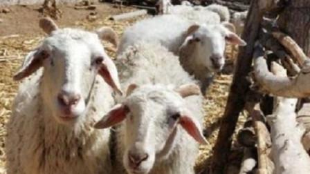 """俗语""""男怕属鸡,女怕属羊""""老祖宗为何这么说?有什么讲究吗?"""