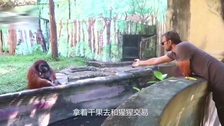 这只猩猩还懂得礼尚往来,用水果来交换游客的食物