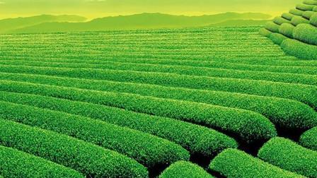 新茶上市了!今年明前龙井5000一斤