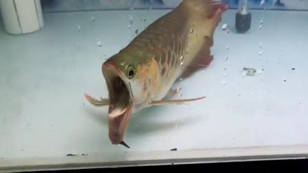 """一回家就看到这一幕,这条金龙鱼""""变异""""了吗?太震撼人心了!"""