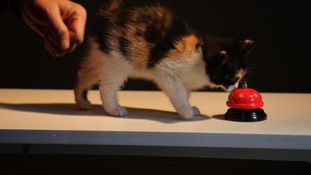 """丑猫黄富贵成长日记(10):黄富贵学习""""按铃讨食"""",过程艰辛,结果也很不尽人如意。"""
