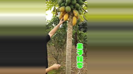 树上自然熟的水果木瓜,小伙子怎么吃得这么狼狈?