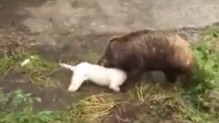 杜高犬VS野猪,永远不要低估野兽的实力