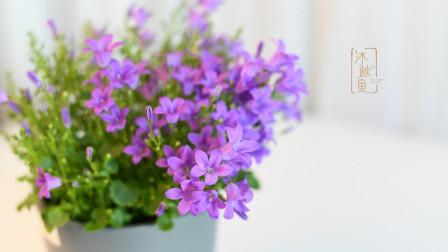 开花不断的草本植物,丹麦风铃的基本养护