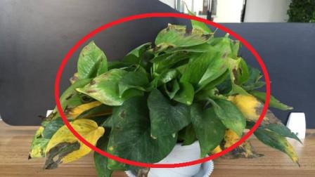 绿萝一直黄叶怎么办?花友支招:浇这2种水,不到一周枝叶绿油油!