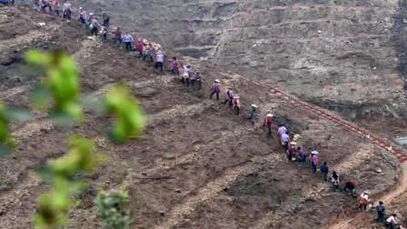 广西侗族自治县掀起油茶耕种热潮 改良品种助力脱贫致富