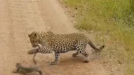 花豹杀死蜥蜴,最凶残的大猫