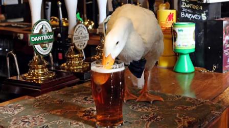 英国小镇一只鸭子成网红,跟着主人喝啤酒,喝醉后还打骂狗狗!