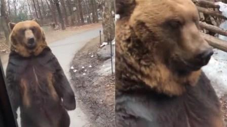 """棕熊用""""双脚""""直立行走酷似人类 竟是为供游客拍照取乐"""