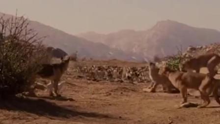 德牧被一群美洲狮包围,一声犬哮,美洲狮都懵逼了,一只只落荒而逃