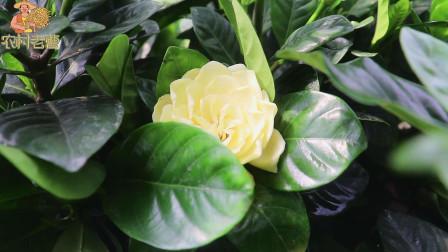栀子花的养殖方法和注意事项,教你一招,猛开花不黄叶