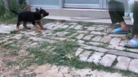 小狗在院子里和老奶奶杠上了