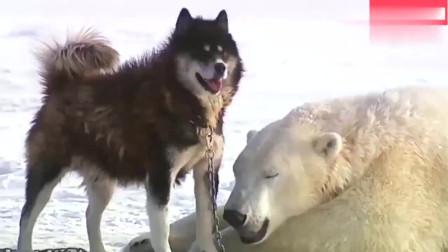 北极熊遇到哈士奇, 白熊一把抱住二哈, 结局挺有爱的!