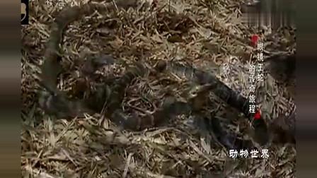 动物世界近距离实拍眼镜蛇交配过程, 太凶猛了果然是冷血动物
